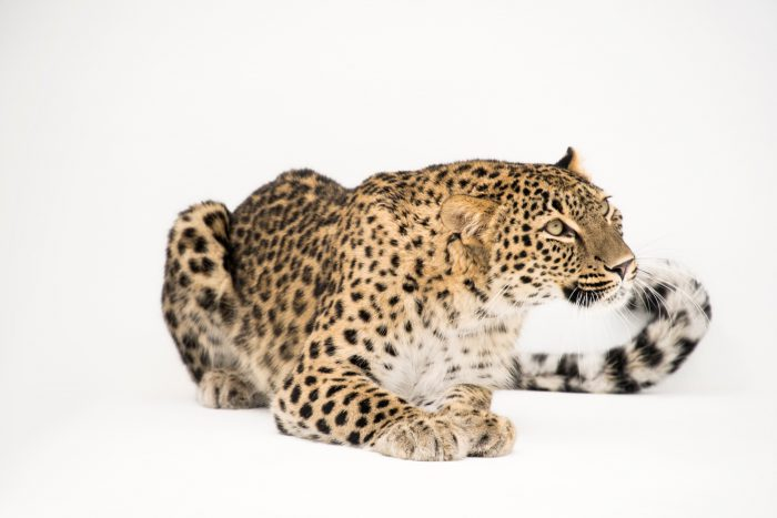 Photo: A Persian leopard (Panthera pardus saxicolor) at the Lisbon Zoo in Portugal.