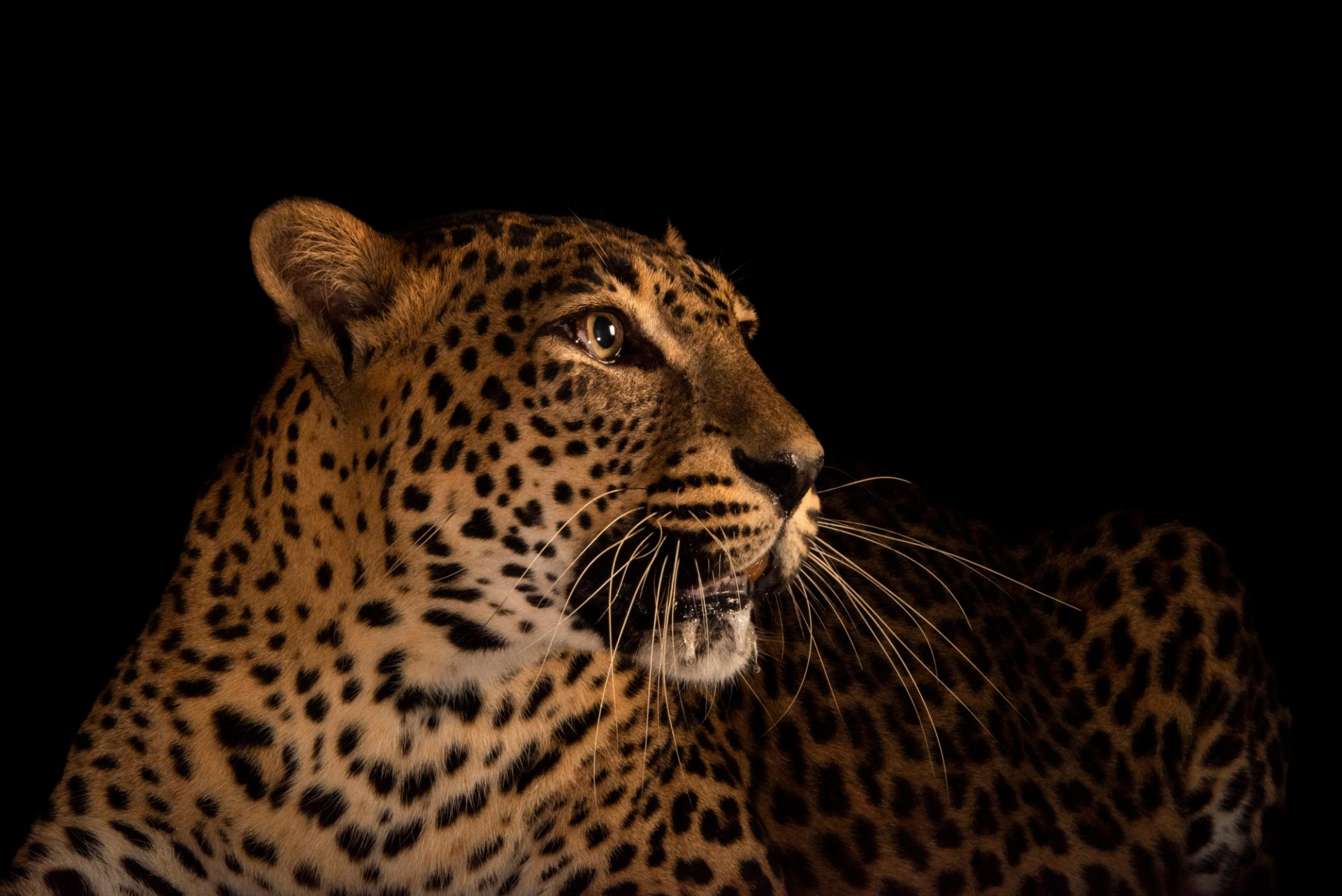 Photo: An endangered female Sri Lankan leopard (Panthera pardus kotiya) at the Singapore Zoo.
