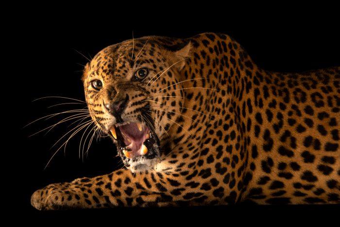 Photo: An endangered male Sri Lankan leopard (Panthera pardus kotiya) at the Singapore Zoo.