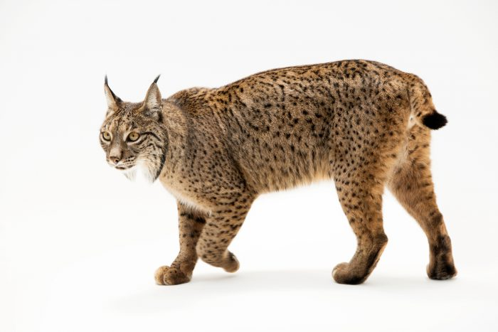 Photo: An endangered Iberian lynx (Lynx pardinus) at the Madrid Zoo. This is a male named Kalama, part of a breeding program for this rare cat species.