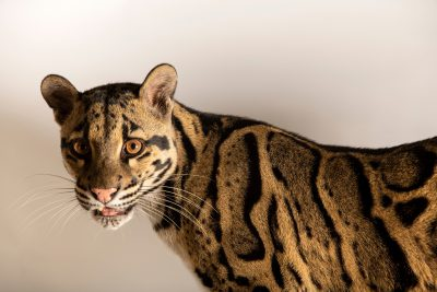 Photo: A female clouded leopard (Neofelis nebulosa nebulosa) named 'Hope' at the Nashville Zoo. This species is listed as vulnerable.
