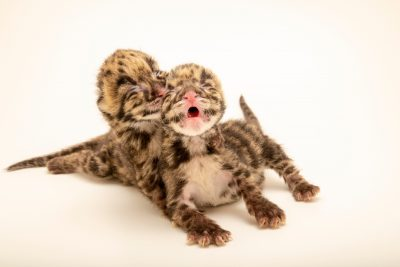 Photo: Two female hand-raised nine-day-old clouded leopard cubs (Neofelis nebulosa nebulosa) at the Nashville Zoo.