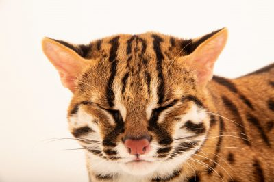Photo: Visayan leopard cat (Prionailurus bengalensis rabori) at the Avilon Zoo.