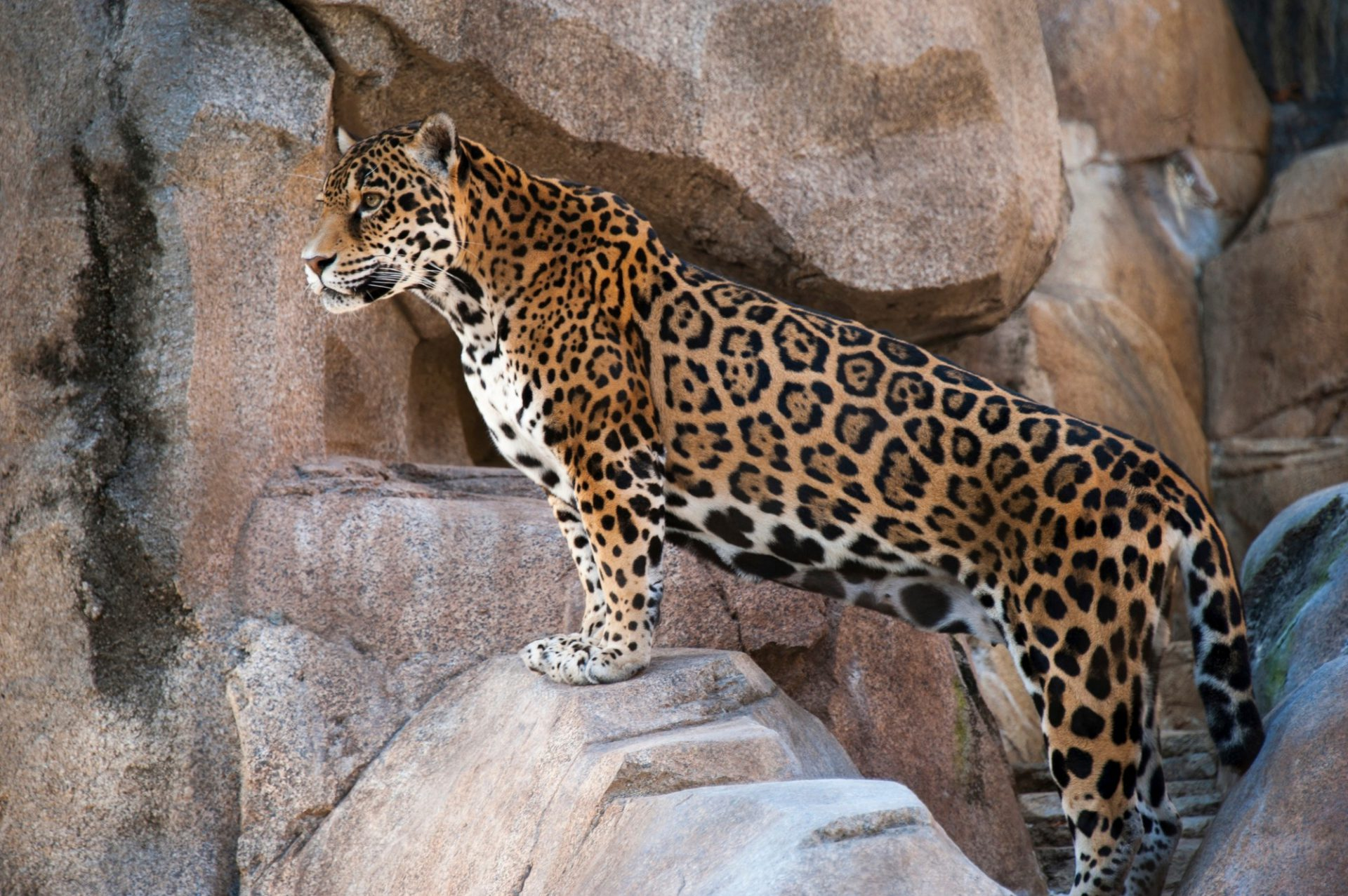 Photo: A jaguar (Panthera onca) at the Houston Zoo.