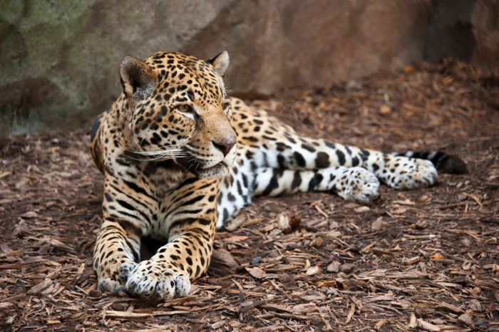 Photo: A jaguar (Panthera onca) at the Houston Zoo.