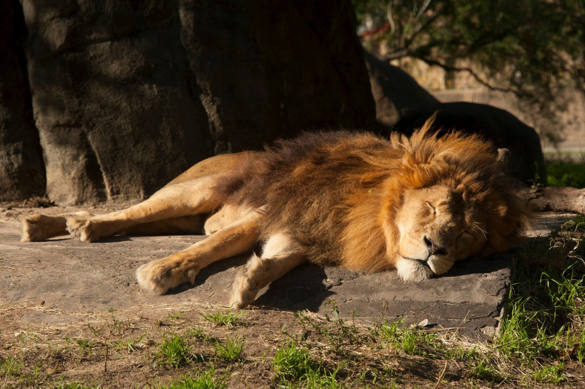 Photo: A male African lion (Panthera leo) naps in the sun at the Houston Zoo.