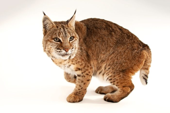 Photo: A Bobcat (Lynx rufus) at the Miller Park Zoo.