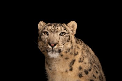 Photo: An endangered (IUCN) and federally endangered snow leopard (Panthera uncia) at the Miller Park Zoo.