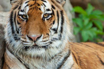 Photo: A Siberian tiger at the Omaha Zoo.