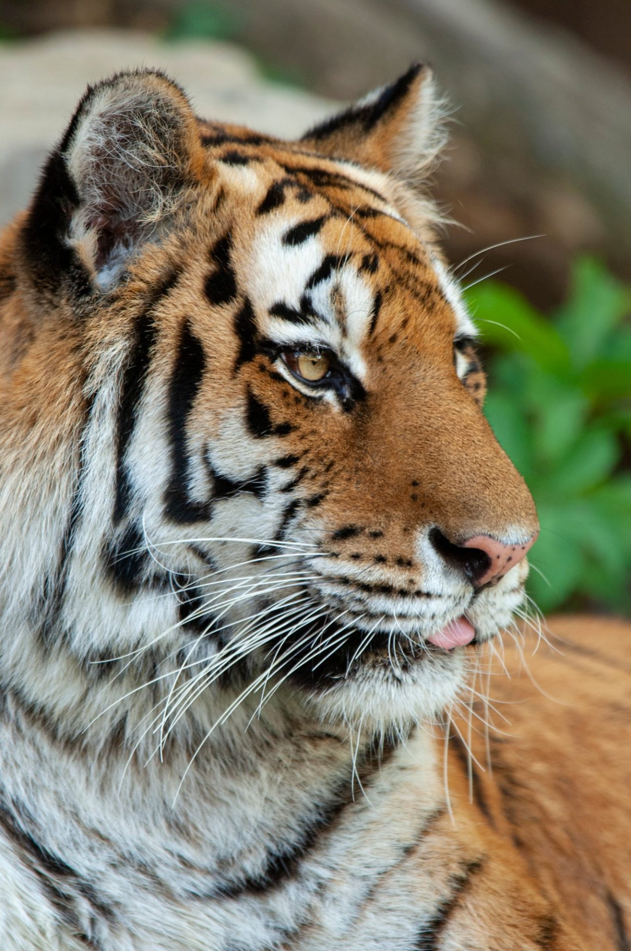 Photo: A Siberian tiger at the Omaha Zoo.