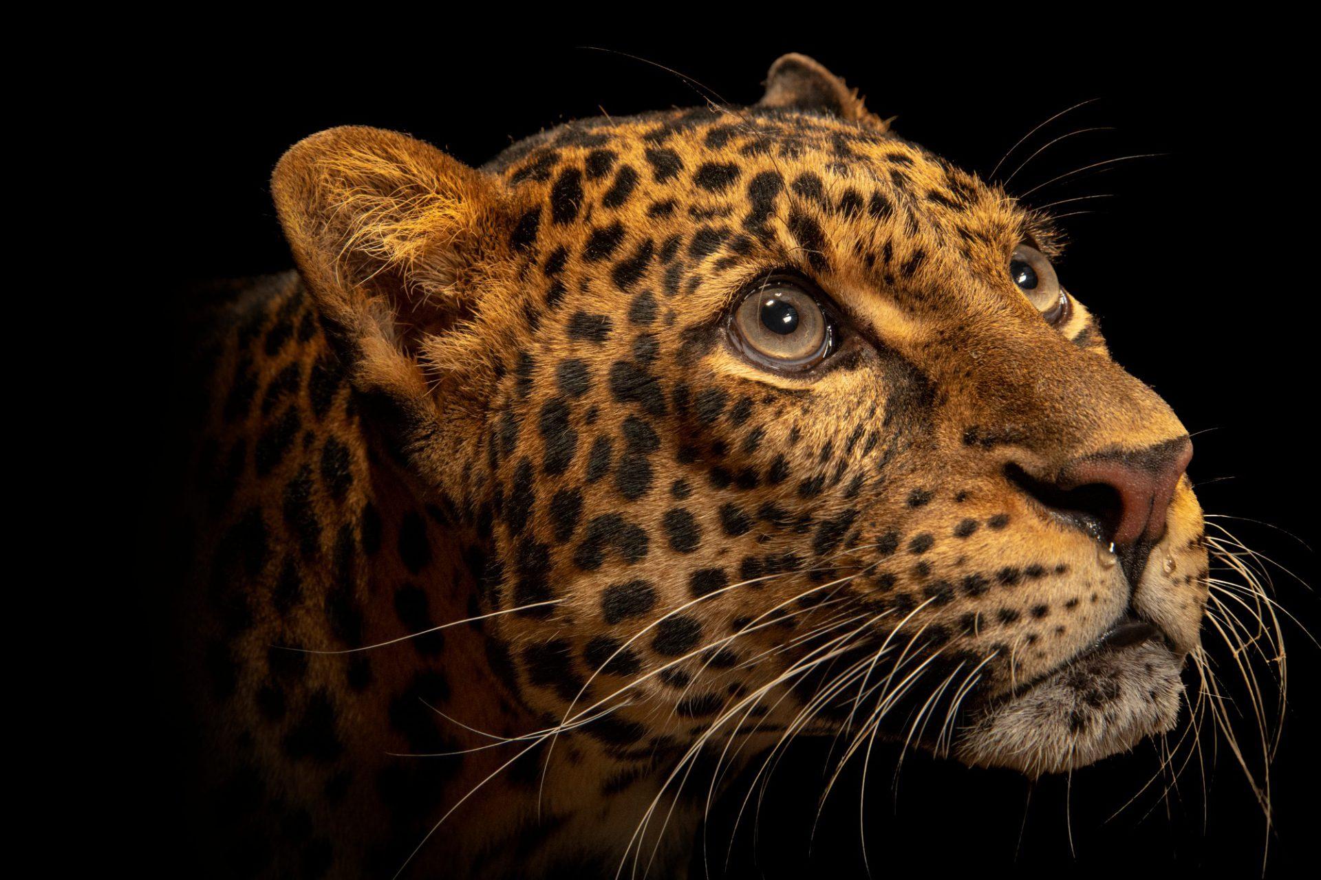 Photo: A critically endangered Javan leopard (Panthera pardus melas) at Taman Safari.