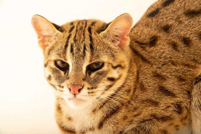 A Javan leopard cat (Prionailurus javanensis javanensis) in Jakarta, Indonesia in the care of PT. Alam Nusantara Jayatama.