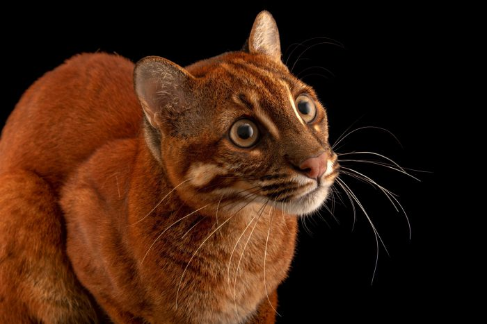 Photo: An Asian golden cat (Catopuma temminckii temminckii) at a private collection in Jakarta, Indonesia.