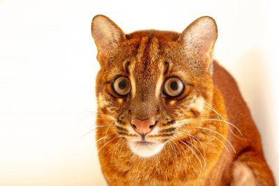 Photo: An Asian golden cat (Catopuma temminckii temminckii) in Jakarta, Indonesia, under the care of PT. Alam Nusantara Jayatama.