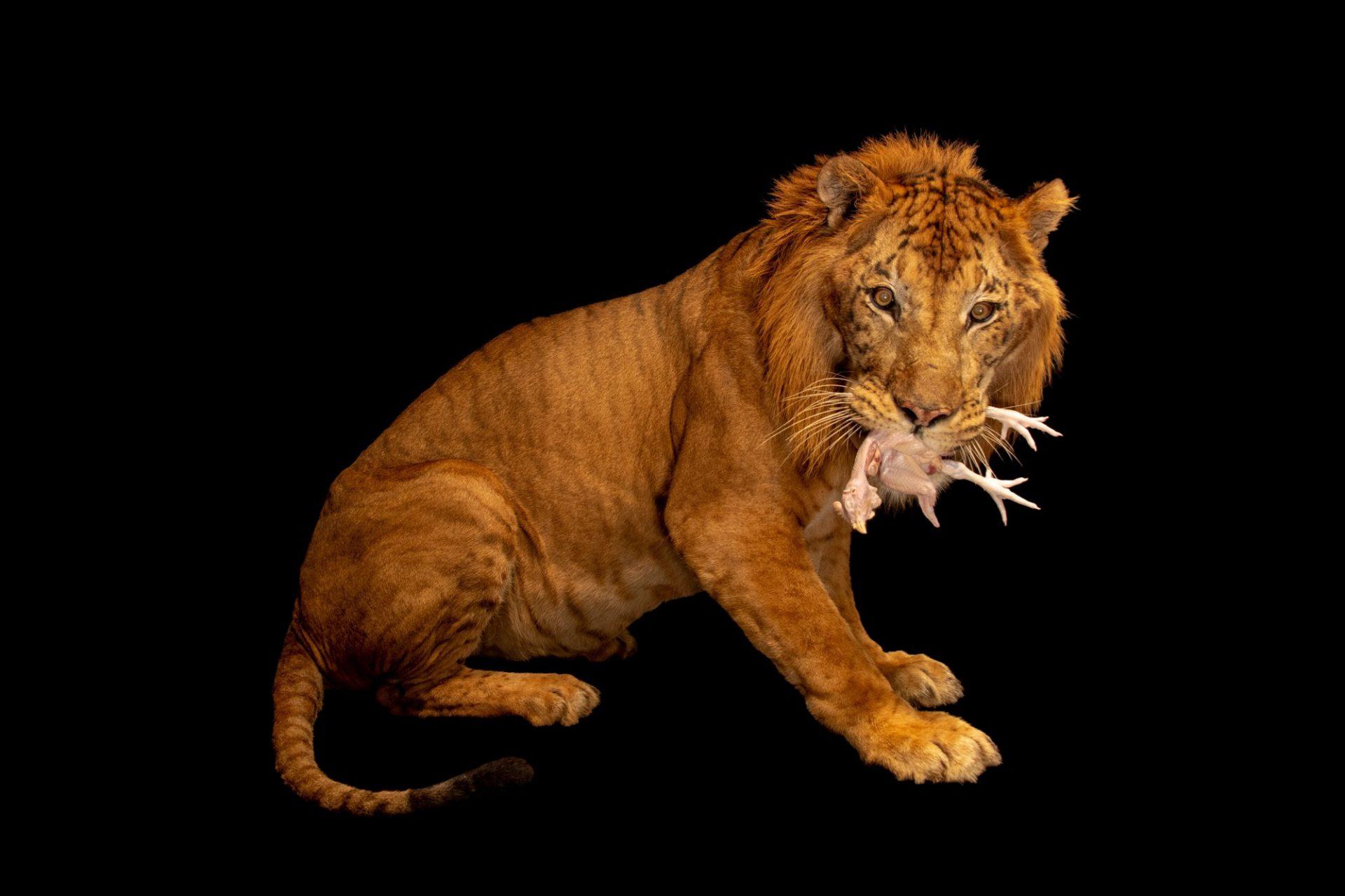 Photo: A liger, Panthera leo x Panthera tigris, at Taman Safari in Bogor, West Java, Indonesia.