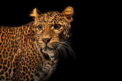 Photo: A critically endangered Javan leopard (Panthera pardus melas) at Taman Safari in Bogor, West Java, Indonesia.