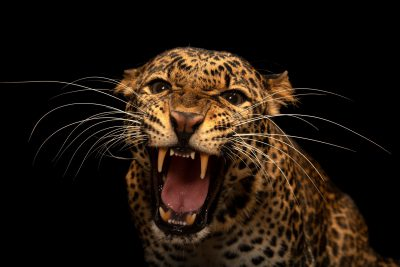 Photo: A critically endangered Javan leopard (Panthera pardus melas) at Taman Safari in Bogor, West Java, Indonesia.