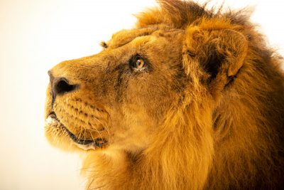 Photo: An endangered Asiatic lion (Panthera leo persica) from Zoo Santo Inacio in Portugal.