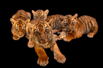 Photo: Four eight weeks old Sumatran tiger cubs (Panthera tigris sumatrae) at the Berlin Tierpark.