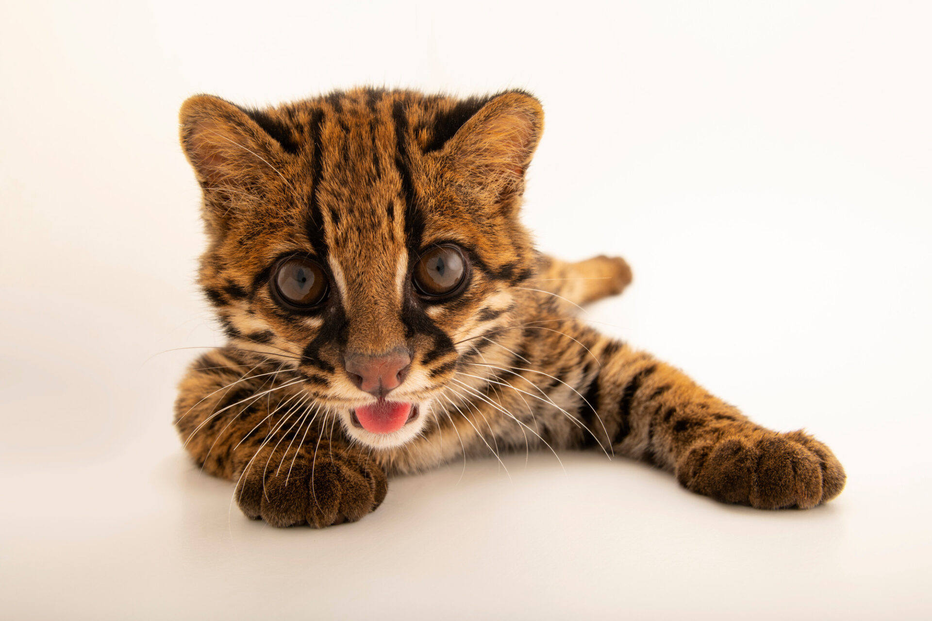 Photo: A margay (Leopardus wiedii pirrensis) named Diego, at Zoologico de Quito.