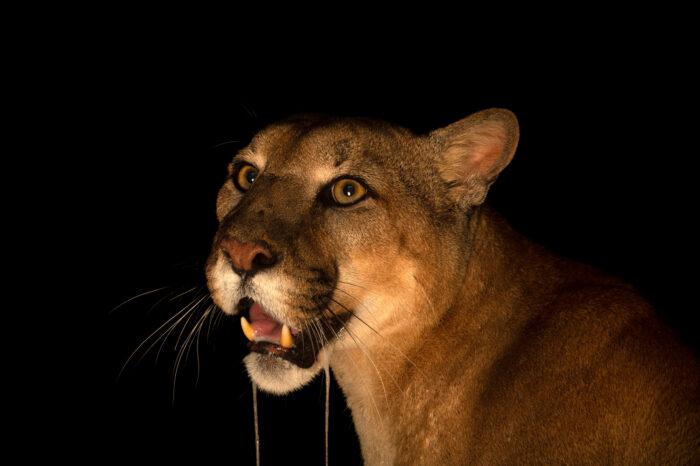 Photo: A Puma (Puma concolor capricorniensis) at Fundacao Jardim Zoologico de Brasilia.