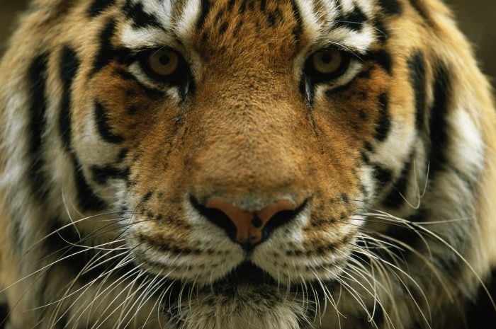 Photo: A close view of the face of Khuntami, a male Siberian tiger, in a zoo.
