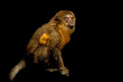 Photo: Golden-bellied Mangabey (Cercocebus chrysogaster) at the San Antonio Zoo