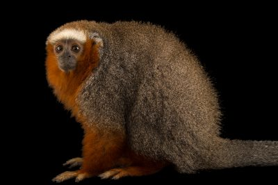 Photo: Ornate titi (Callicebus ornatus) at Piscilago Zoo in Bogota, Colombia.