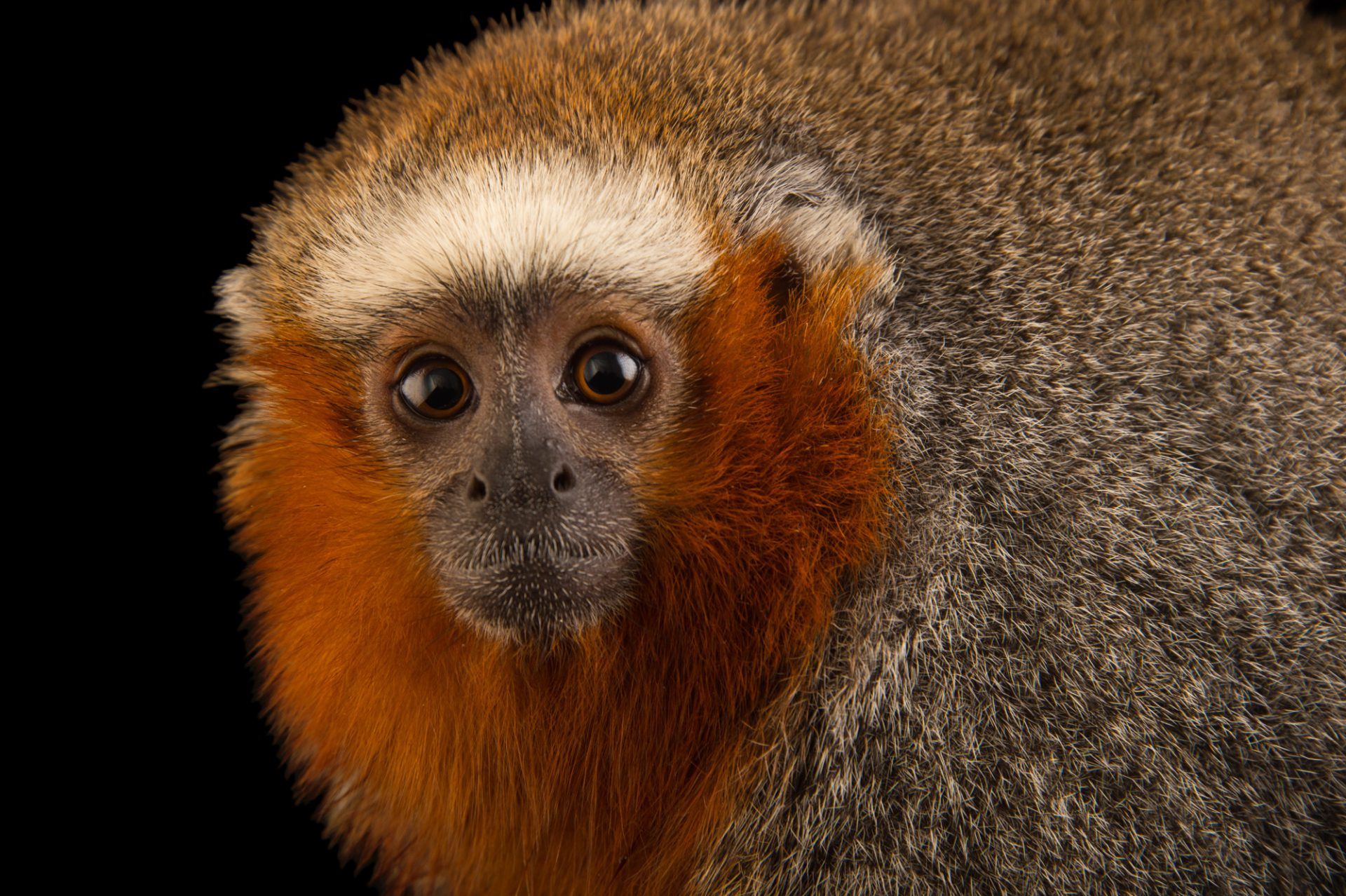 Photo: Ornate titi (Callicebus ornatus) at Piscilago in Bogota, Colombia.