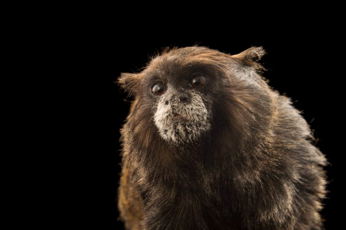 A brown-mantled tamarin (Saguinus nigricollis) at Cafam Zoo in Melgar, Colombia.