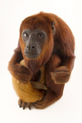 Photo: A female Colombian red Howler Monkey (Alouatta seniculus seniculus) at Cafam Zoo in Melgar, Colombia.