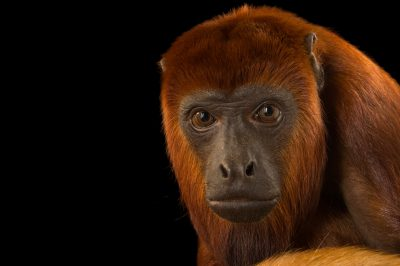 Photo: A female Colombian red Howler Monkey (Alouatta seniculus seniculus) at Cafam Zoo.