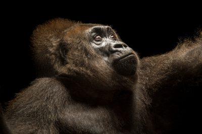 Photo: 'Nyango', the only confirmed Cross River gorilla (Gorilla gorilla diehli) in captivity in the world.