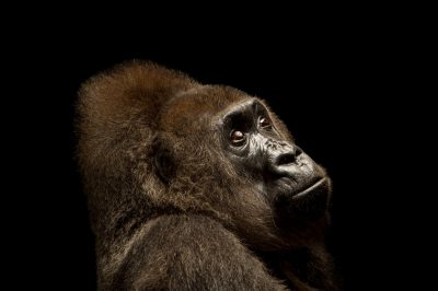 Photo: 'Nyango', the only confirmed Cross River gorilla (Gorilla gorilla diehli) in captivity in the world.