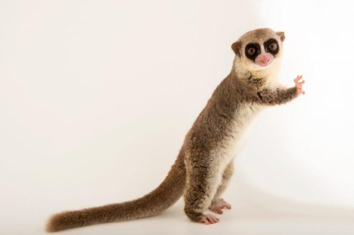Photo: A fat tailed dwarf lemur, Cheirogaleus medius, at the Plzen Zoo.