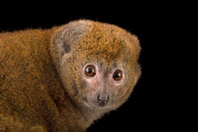 Photo: A critically endangered Alaotran bamboo lemur (Hapalemur alaotrensis) at the Plzen Zoo.