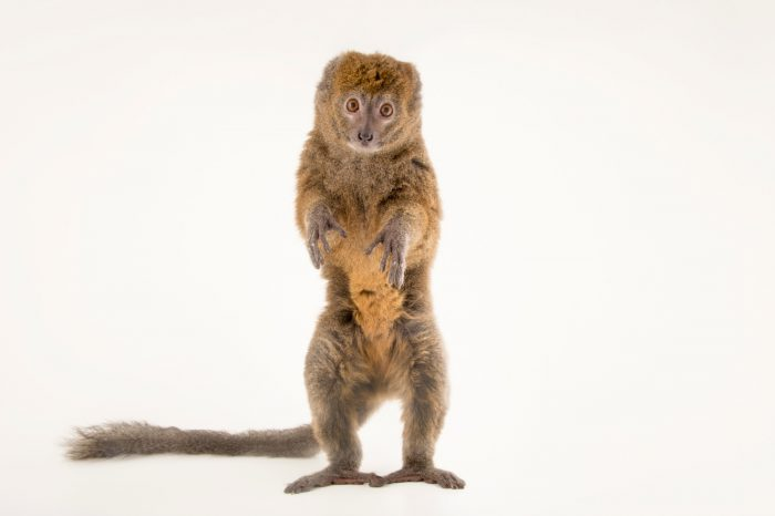 Photo: A critically endangered Alaotran bamboo lemur (Hapalemur alaotrensis) at the Plzen Zoo.