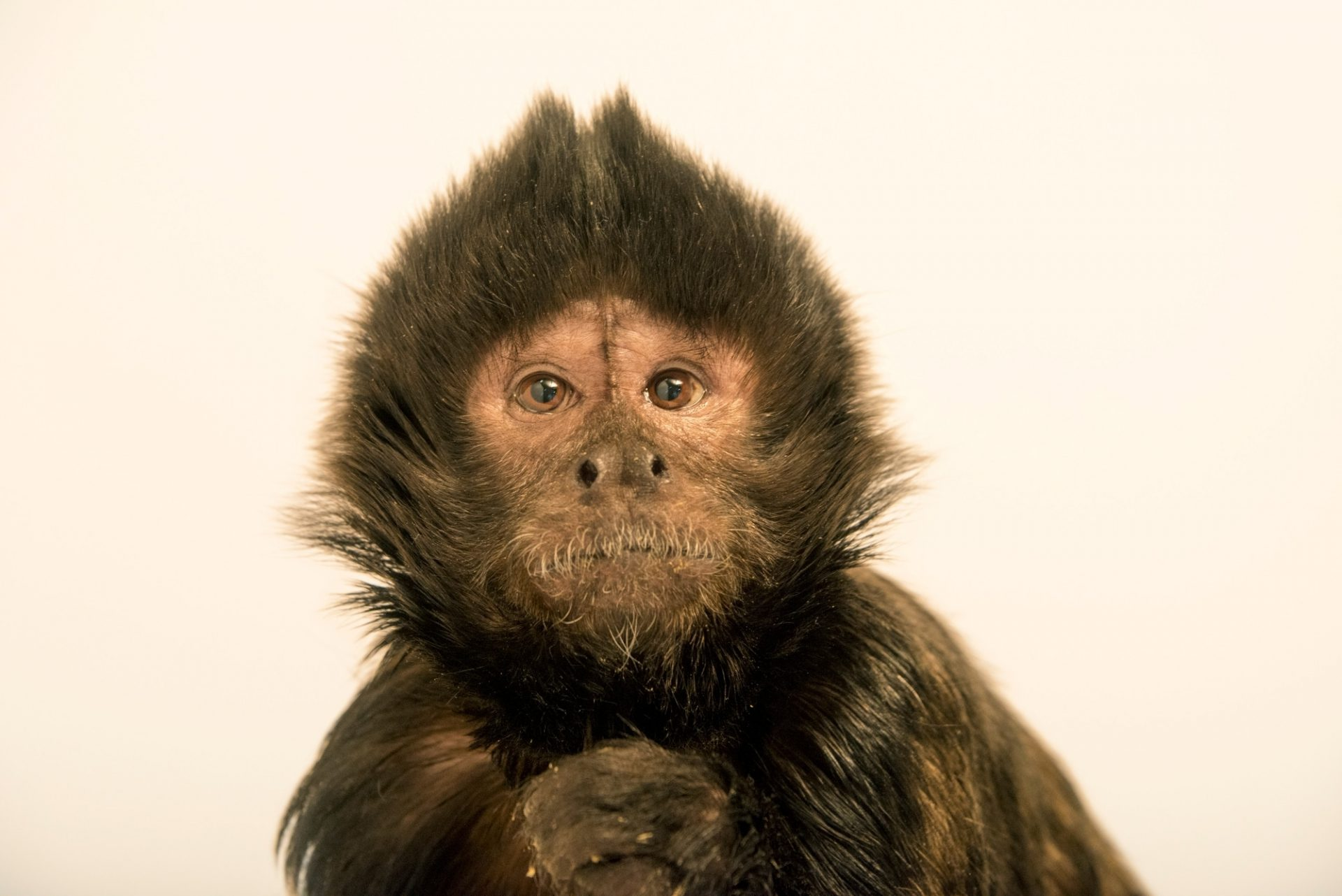Photo: An endangered crested capuchin named Milo (Sapajus robustus) at the Los Angeles Zoo.