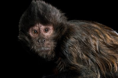 Photo: An endangered crested capuchin (Sapajus robustus) at the Los Angeles Zoo.