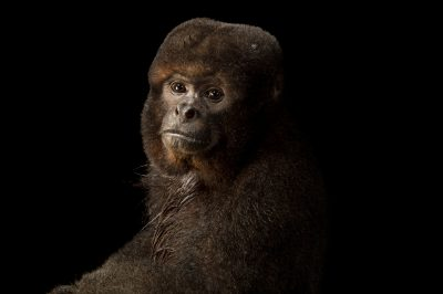 Photo: Brown woolly monkey (Lagothrix lagothricha lagothricha) at Piscilago.