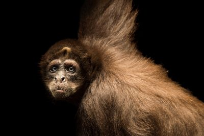 Photo: A critically endangered brown spider monkey (Ateles hybridus) at Piscilago Zoo.