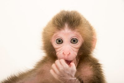 Photo: Gigi, a two-week-old Japanese macaque or snow monkey, Macaca fuscata, at the Blank Park Zoo in Des Moines, IA. She is being hand-raised for the first couple months because her mom wouldn't nurse her.