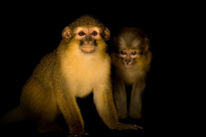 Photo: Talapoin monkeys (Miopithecus talapoin) at the Audubon Zoo.