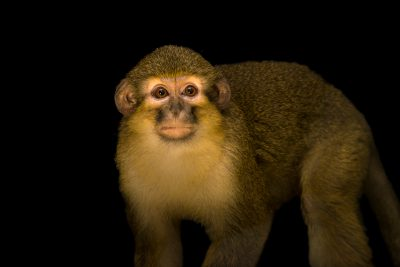 Photo: Talapoin monkey (Miopithecus talapoin) at the Audubon Zoo.