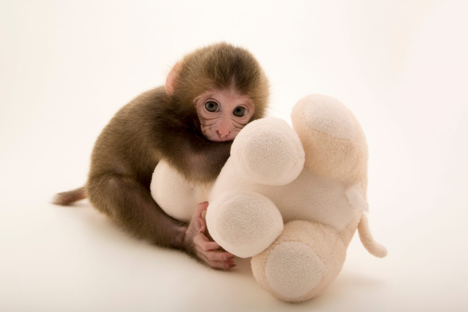 Photo: Gigi, a two-week-old Japanese macaque (Macaca fuscata) at the Blank Park Zoo in Des Moines, IA. She is being hand-raised for the first couple months because her mom wouldn't nurse her.