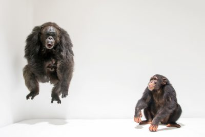 Photo: A mother chimpanzee and two-week-old baby along with her subadult son (Pan troglodytes) at the Singapore Zoo.