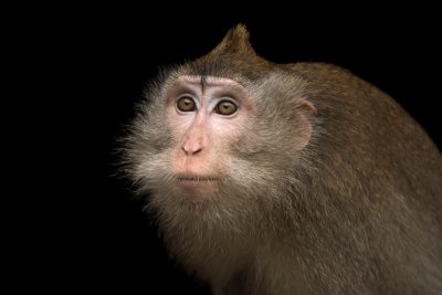 Photo: Crab-eating macaque or long-tailed macaque (Macaca fascicularis) at the Singapore Zoo.