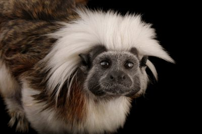 Photo: An endangered cotton-top tamarin (Saguinus oedipus) at the Miller Park Zoo.