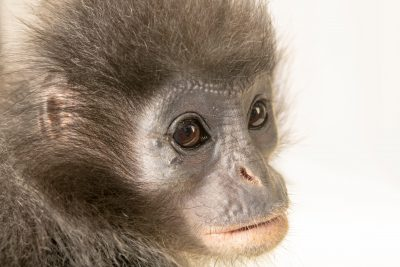 Photo: Endangered Javan langur (Presbytis comata comata) at Taman Safari in Bogor, West Java, Indonesia.