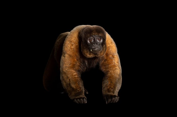 Photo: Brown woolly monkey (Lagothrix lagotricha) at the Louisville Zoo. This species is listed as Vulnerable according to IUCN.